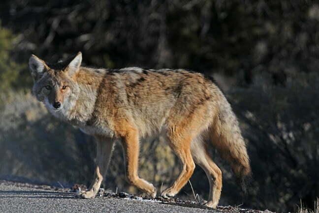 Coyote Sightings/Attacks in Villa Park