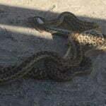 Gopher Snake Villa Park